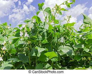 Kidney bean plants with flowers and pods on a plantation