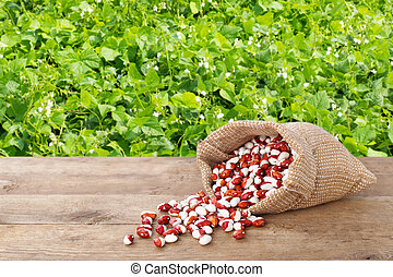 kidney beans in sack and field