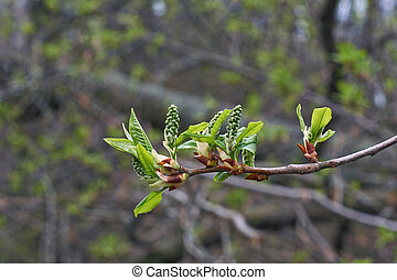Kidney bird cherry with young leaves.