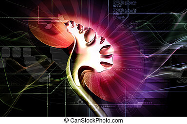 Kidney - Digital illustration of kidney in colour background