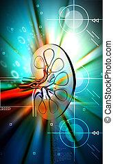 Kidney - Digital illustration of kidney in colour background...