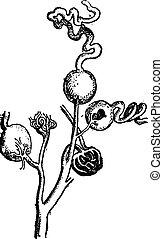 Kidney, vintage engraving.