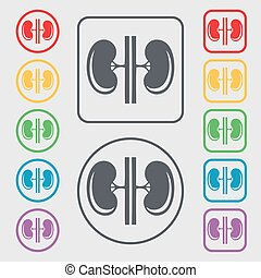 Kidneys icon sign. symbol on the Round and square buttons with frame. Vector