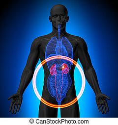 Kidneys - Male anatomy of human