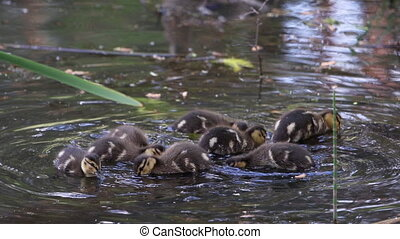 kids ducklings in shallow water looking for food, wildlife