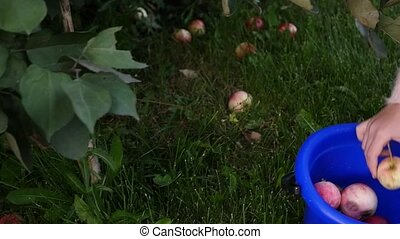 kid's hands picking apples off the ground under fruit tree ...