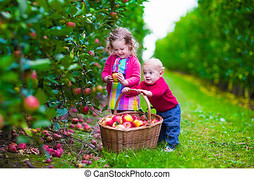 Kids picking fresh apple on a farm - Child picking apples on...