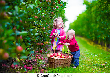 Kids picking fresh apple on a farm - Child picking apples on...