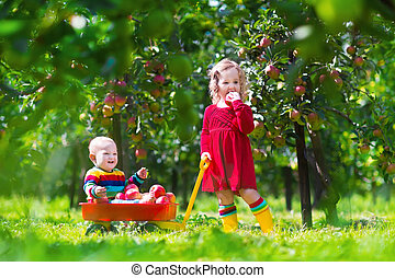 Kids playing in apple tree garden - Child picking apples on...