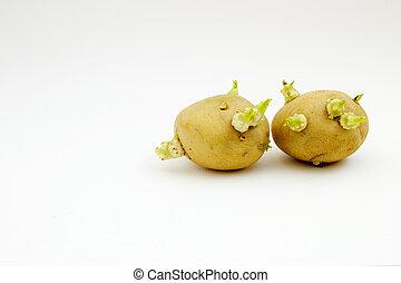 kiełkowanie, bulwy, kartofel