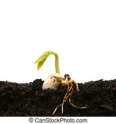 kiełkowanie, fasola, nasienie