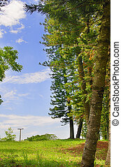kiefer bäume, detail