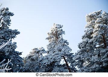 kiefer bäume, in, winter, auf, a, hintergrund, von, der, himmelsgewölbe