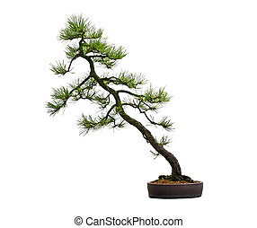 mugo bonsai baum kiefer bonsai baum freigestellt kiefer mugo wei es. Black Bedroom Furniture Sets. Home Design Ideas