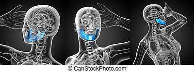 kiefer, medizinische abbildung, übertragung, knochen, 3d