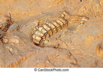kiefer, uralt, fossil, knochen