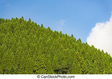 kiefernwald, mit, blauer himmel