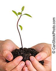 kiemplant, avocado, symbool, natuur, boompje, bescherming, handen
