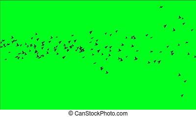 kierdel ptaszków, na, zielony, ekran