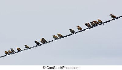 kierdel ptaszków, posiedzenie, na, elektryczny drut