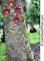 kigelia, fleurs, africana