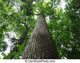kijkend op, groot, bomen, in, bos