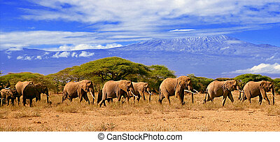 A full herd of african elephants in kenya with kilimanjaro in the backgound.