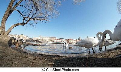 kilka, biały, łabędzie, czas teraźniejszy czasownika be, na, przedimek określony przed rzeczownikami, vltava, riverbank, wśród, gołębice, abd, kiwa, w, wiosna