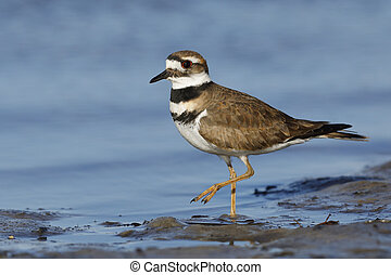 Killdeer foraging on a Gulf of Mexico beach - Florida