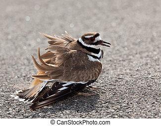 killdeer, guardia apagado, pájaro, peligro