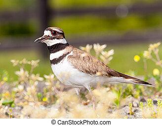 killdeer, nid, sien, défendre, oiseau
