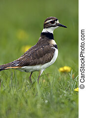 Killdeer Profile in the Rain - Extremely detailed photo of a...
