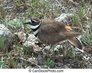 Killdeer protecting nest