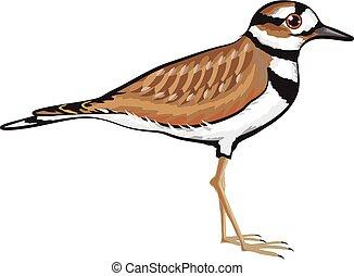 killdeer, vector, pájaro, ilustración