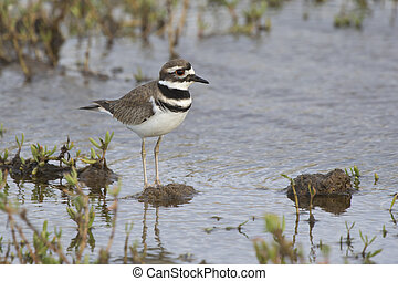 killdeer who stands in the shallow waters of a small lake in...