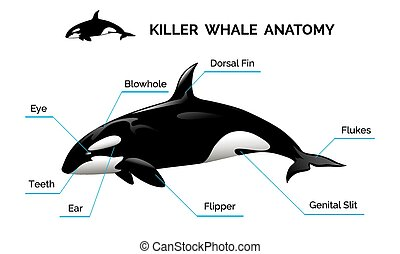 Killer Whale Anatomy