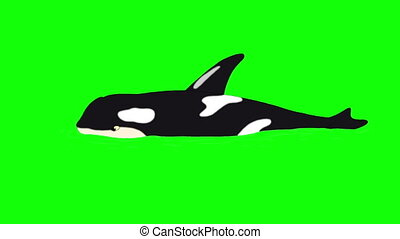 Killer Whale in the Water isolated on Green Screen