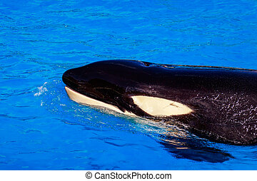 A Killer whale floats in water showing blowhole.
