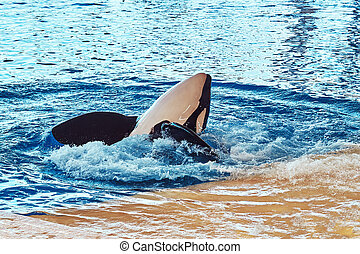Killer whale performing during a dolphin show in a national zoo.