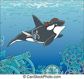 Killer whale pirate - Orca swimming with a bandana of a ...