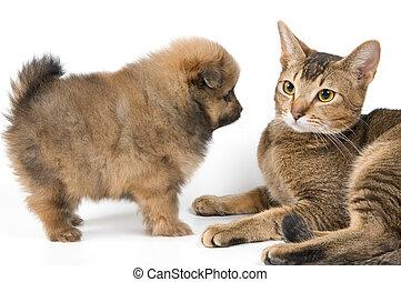 killingen, og, den, hundehvalp, i, den, spitz-dog
