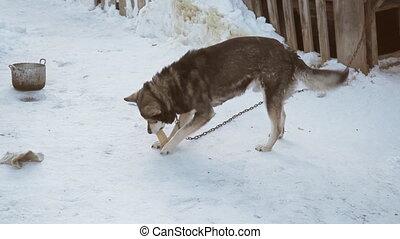 Kind dog mongrel on a chain eats bread . Winter season