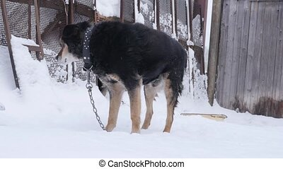 Kind dog mongrel on a chain near the kennel in a winter...