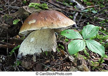 King Bolete Mushroom - Boletus edulis