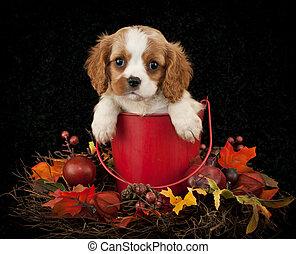 King Cavalier Puppy