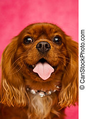 King Charles Cavalier dog isolated on a pink background