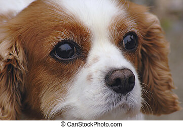 King Charles Spaniel - A close up potrait of a king charles...