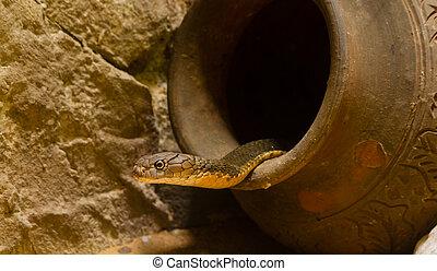 King Cobra in the jar