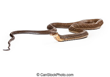 King cobra - The world's longest venomous snake. Commonly found in the forests of India and Southeast Asia. Isolated on a white background
