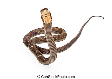 King cobra - The world's longest venomous snake. Commonly found in the forests of India and Southeast Asia. Snake is looking forward on a white background.